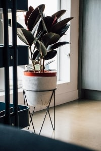 rubber plant taking care and decor ideas