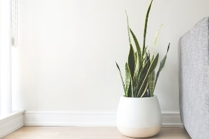 snake plants taking care and decor ideas